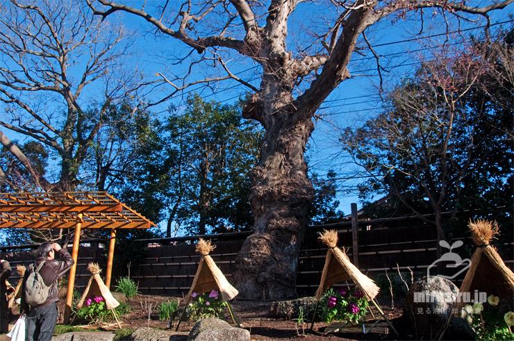 市指定天然記念物ケヤキ 鎌倉市・鶴岡八幡宮(神苑ぼたん庭園) 2020/01/09