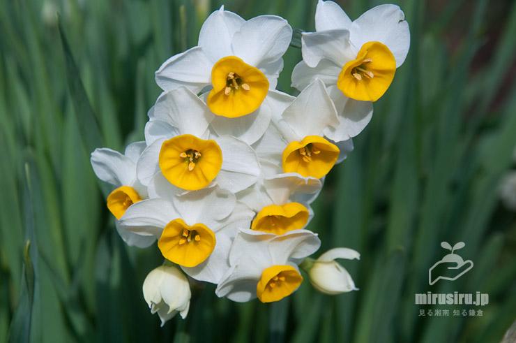 花(蕾を含む)が11個もあるスイセン(ニホンズイセン) 鎌倉市・大船フラワーセンター 2020/01/10