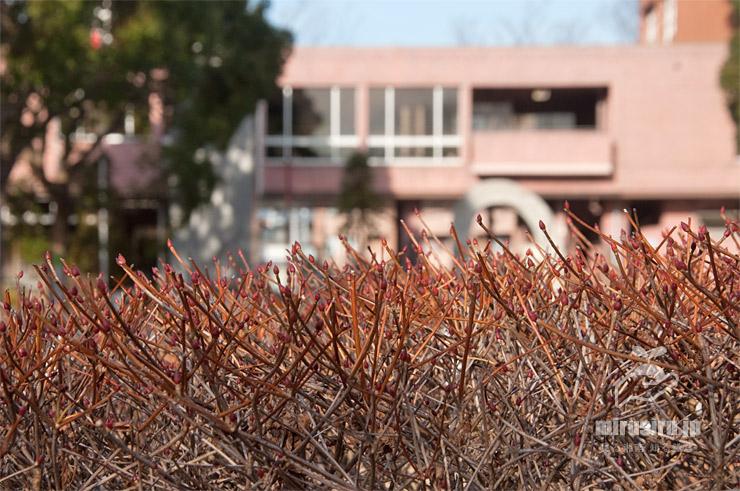 ドウダンツツジの冬の生垣 鎌倉市・大船フラワーセンター 2020/01/10