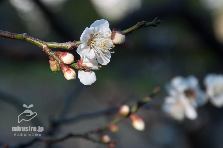 早咲きのウメ('初雁') 鎌倉市・大船フラワーセンター 2020/01/10