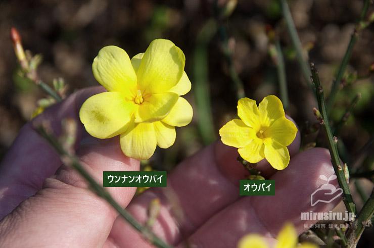 ウンナンオウバイ(落ちていたもの)とオウバイの花の比較 鎌倉市・大船フラワーセンター 2020/01/10