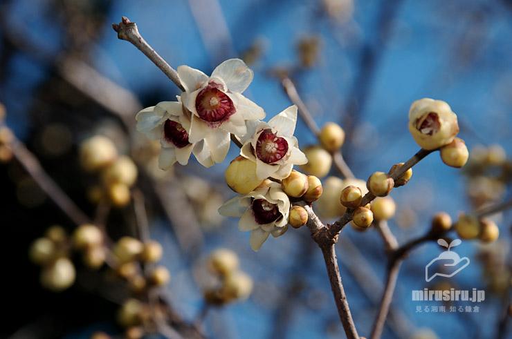 ロウバイ(雲南蝋梅) 東京都文京区・小石川植物園 2020/01/21