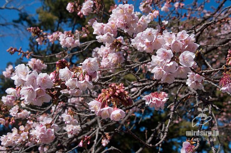 カンザクラ 東京都文京区・小石川植物園 2020/01/21
