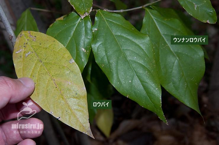 ロウバイの落ち葉とウンナンロウバイの葉の比較 東京都文京区・小石川植物園 2020/01/21