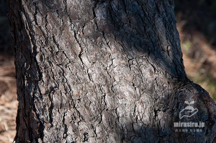 クロマツの黒っぽい幹(樹皮) 横浜市鶴見区・大黒海づり公園 2016/12/28