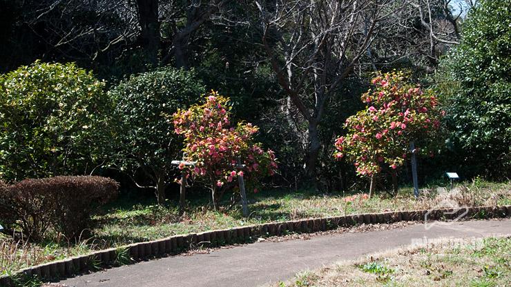 ユキツバキとして展示されている園芸種 横須賀市・くりはま花の国 2018/03/11