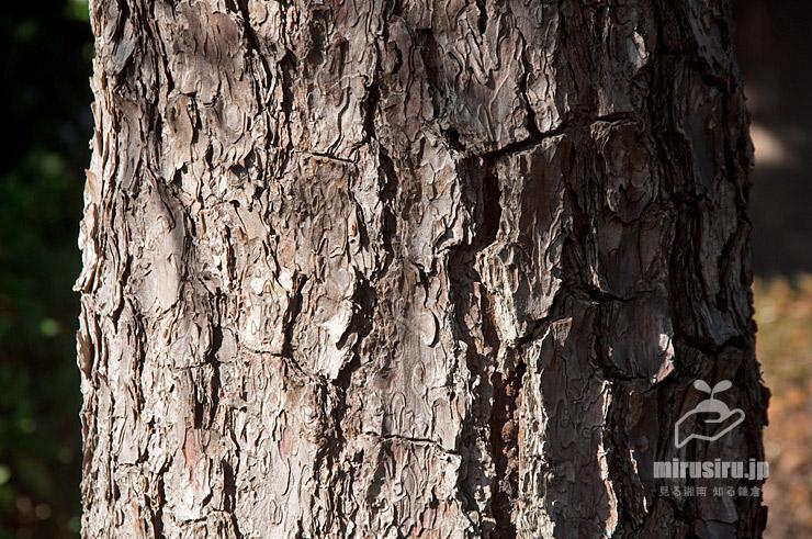 クロマツの赤っぽい幹(樹皮) 鎌倉市・大船フラワーセンター 2019/12/28