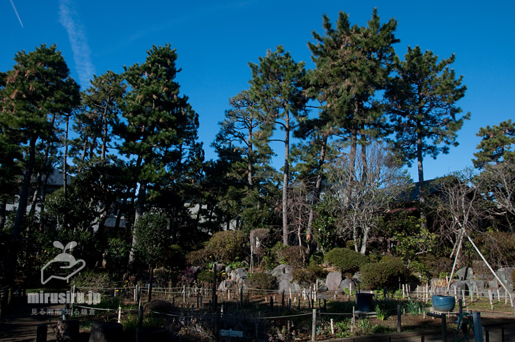 クロマツの高木(毎年樹上でカラスが営巣している) 茅ヶ崎市・氷室椿庭園 2020/01/10