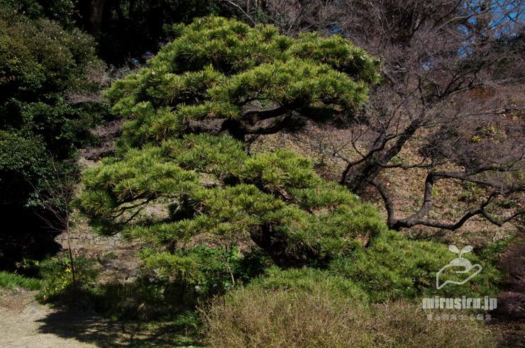日本庭園に植えられたクロマツ 東京都文京区・小石川植物園 2020/01/21