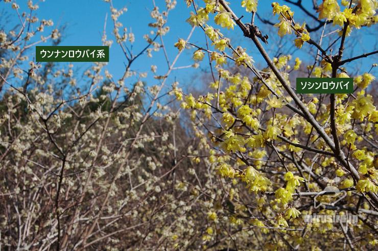 ウンナンロウバイ系とソシンロウバイの花色の比較 東京都調布市・神代植物公園 2020/02/08