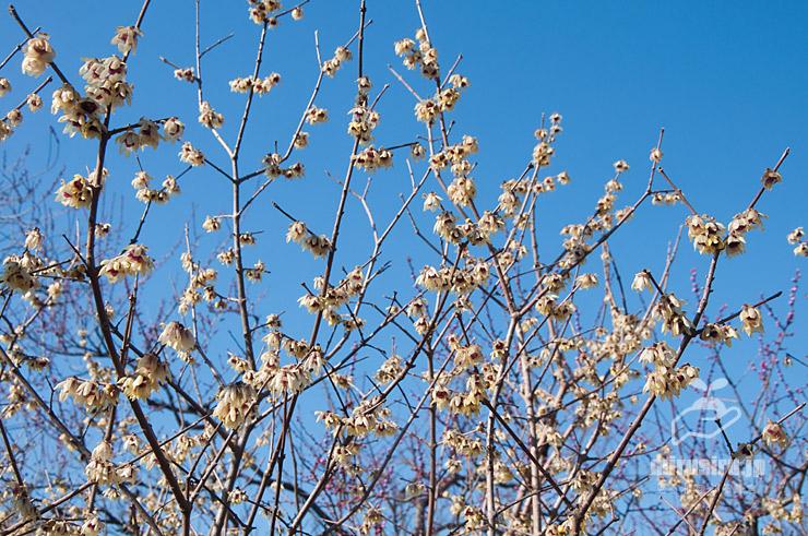 ロウバイ(雲南蝋梅に思えるが樹名板は単にロウバイとのみ) 東京都調布市・神代植物公園 2020/02/08