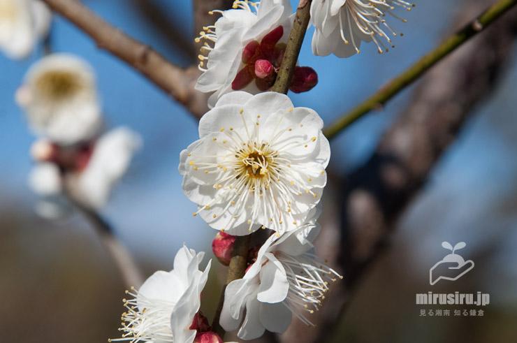 ウメの雌蕊がない不完全花 東京都調布市・神代植物公園 2020/02/08