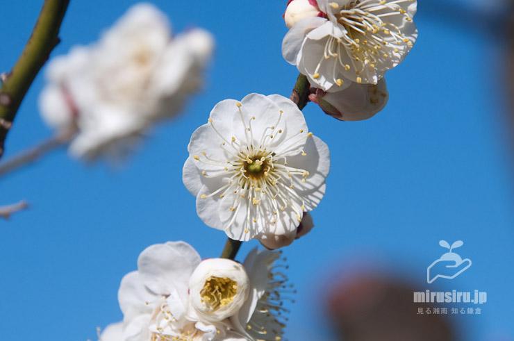 ウメの雌蕊がある完全花 東京都調布市・神代植物公園 2020/02/08