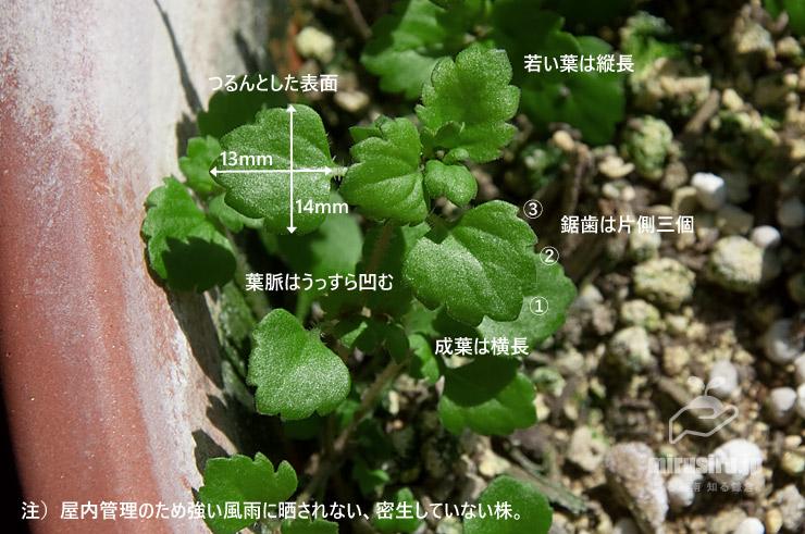 横須賀市産イヌノフグリの葉の特徴 2020/02/11