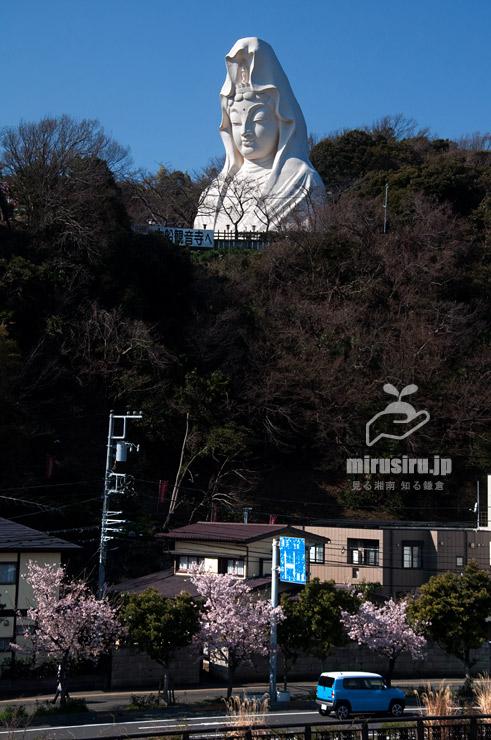 タマナワザクラ 鎌倉市・大船観音寺下 2020/02/21