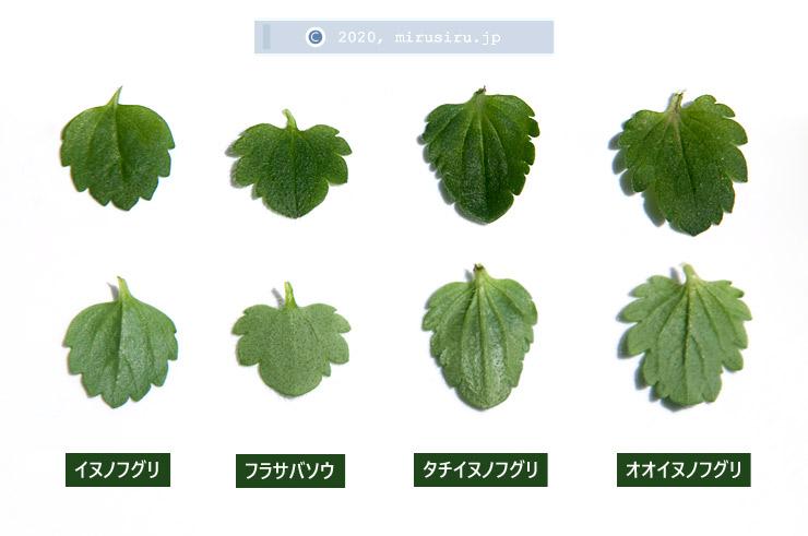 イヌノフグリ、フラサバソウ、タチイヌノフグリ、オオイヌノフグリの葉の比較 2020/02/28