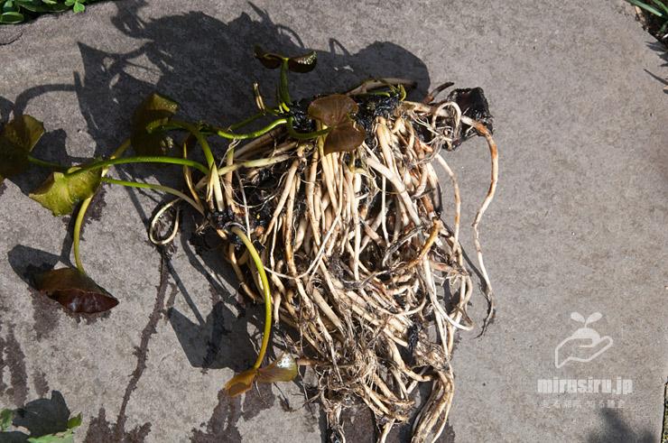 植え替えのために掘り起こしたスイレンの根茎 茅ヶ崎市浜之郷 2020/02/28