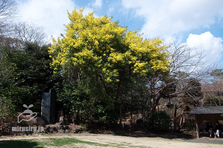フサアカシア 藤沢市・長久保公園 2017/03/03