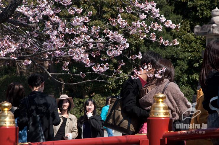オオカンザクラ 鎌倉市・鶴岡八幡宮(赤橋) 2019/03/14