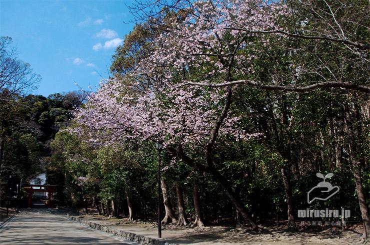 オオカンザクラ 鎌倉市・鶴岡八幡宮(流鏑馬馬場) 2019/03/14
