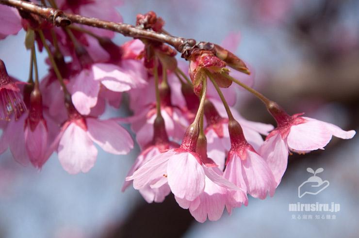 下向きに咲くヨウコウザクラ 寒川町・さむかわ中央公園 2019/03/25