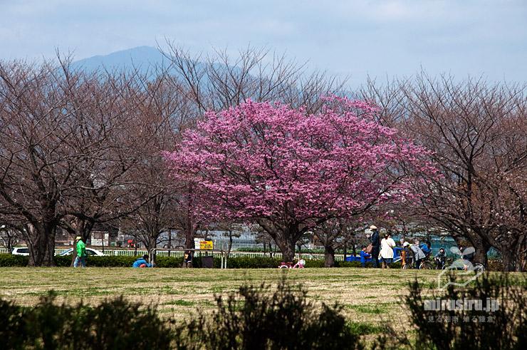ヨウコウザクラ 寒川町・さむかわ中央公園 2019/03/25