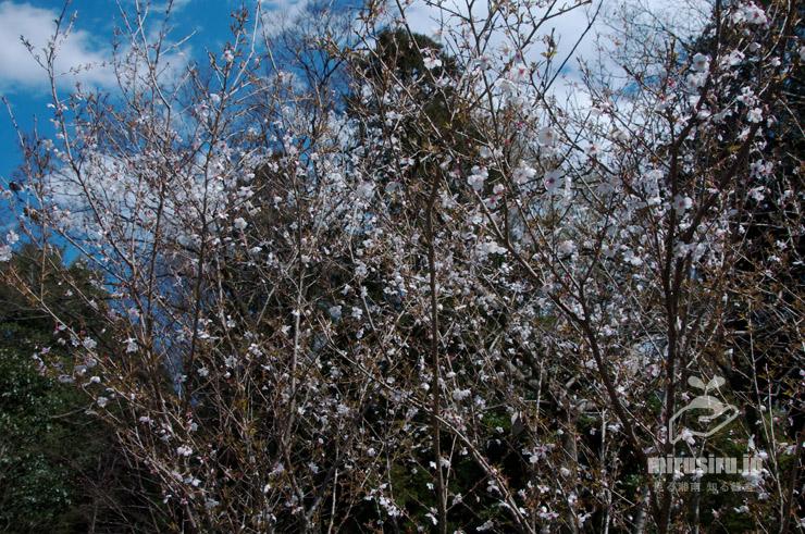 マメザクラ 茅ケ崎里山公園 2019/04/03