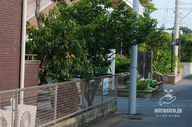 モモ(ミモモ)の木 茅ヶ崎市東海岸南 2019/06/20