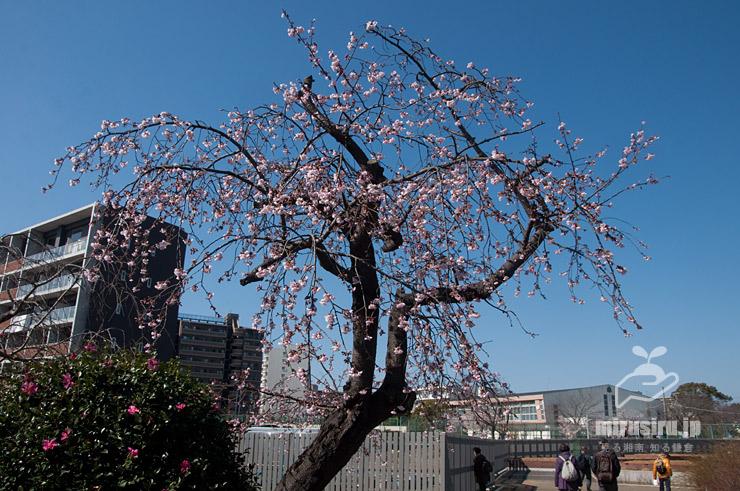 ひどい樹形のオオカンザクラ(まだ四分咲き) 鎌倉市・大船フラワーセンター 2020/02/24 暖冬