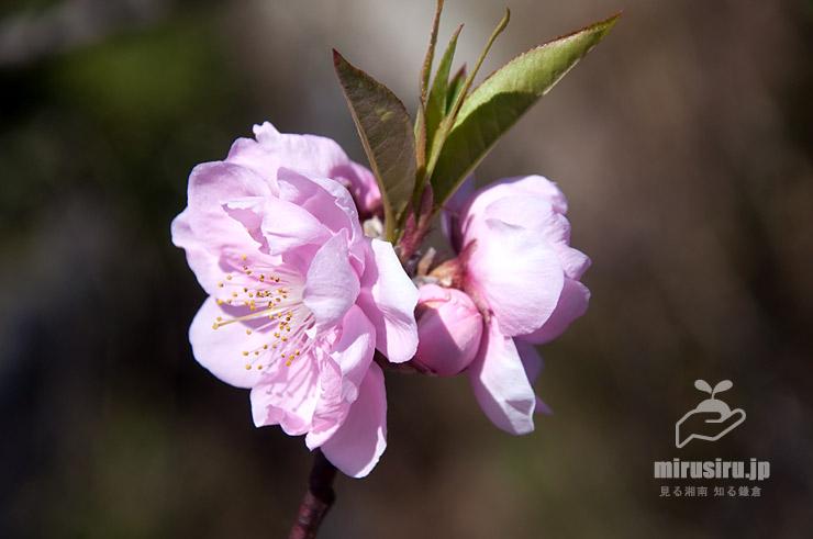 ハナモモ、枝先などに葉芽を伴う 茅ヶ崎市浜之郷 2020/03/06