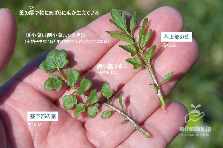 タネツケバナの葉の特徴 寒川町田端・田んぼ 2020/03/06