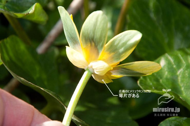 キクザキリュウキンカの萼片 茅ヶ崎市萩園 2020/03/06
