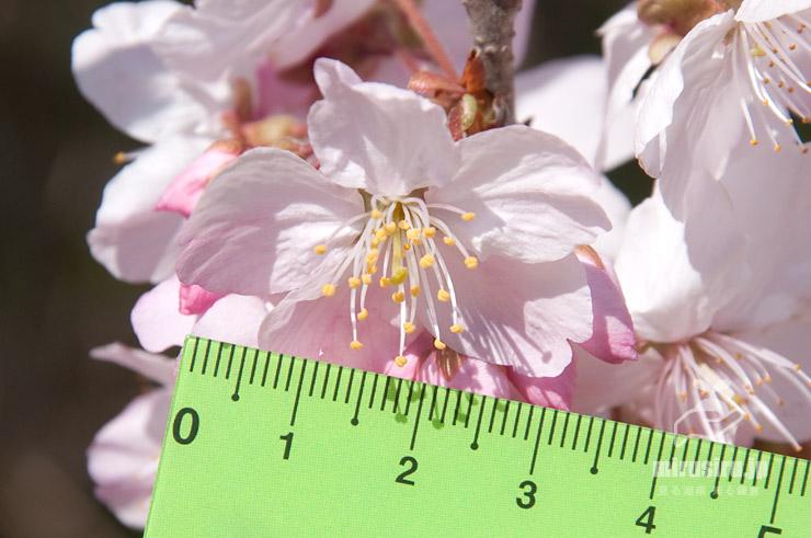 ハルメキザクラ、花径3cm強 茅ヶ崎市萩園・小出川 2020/03/12 暖冬