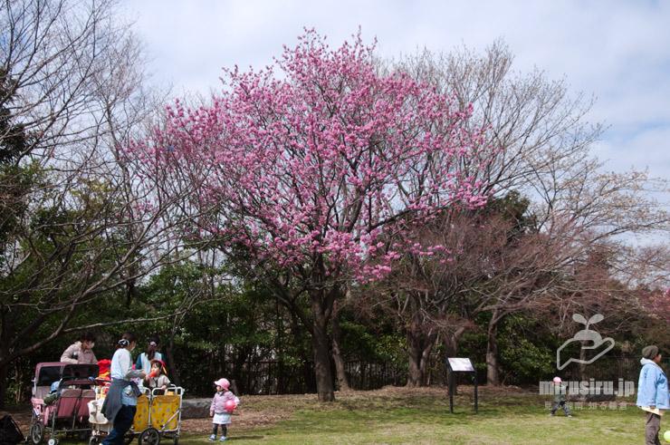 ヨコハマヒザクラ(原木) 横浜市中区・本牧山頂公園 2020/03/17