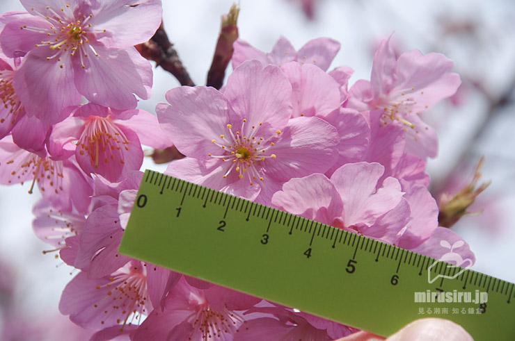 ヨコハマヒザクラ、花径4cm 横浜市中区・本牧山頂公園 2020/03/17