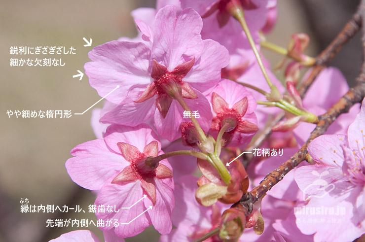 ヨコハマヒザクラの特徴 横浜市中区・本牧山頂公園 2020/03/17