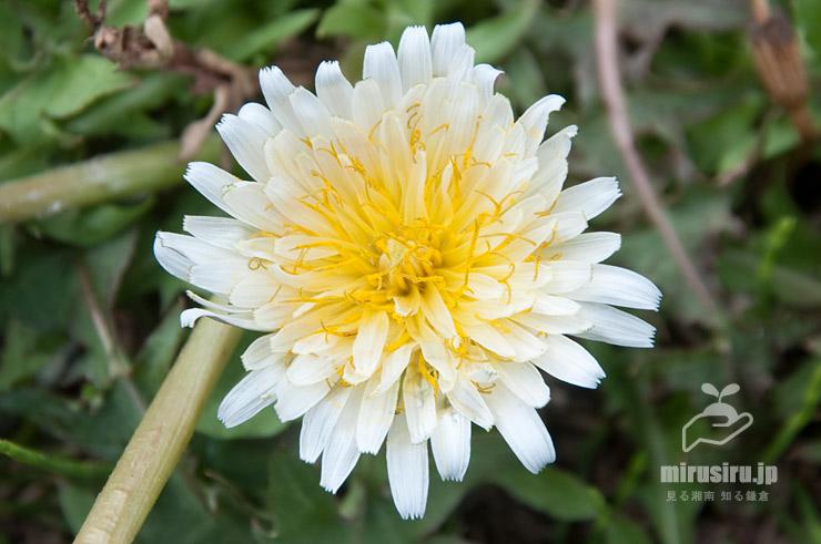 シロバナタンポポのよく見るいまいちな咲き具合の花 横浜市中区・三溪園 2020/03/17