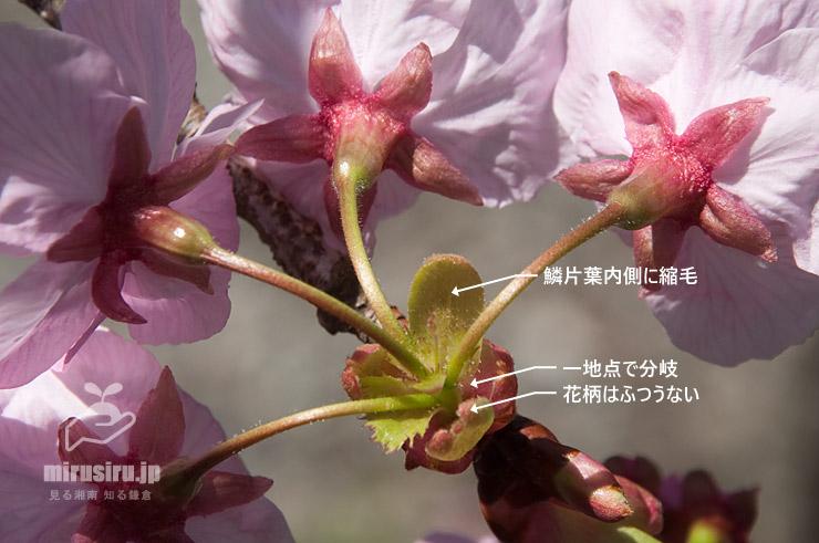 ヨウコウザクラの小花柄など 鎌倉市・高徳院(鎌倉大仏) 2020/03/18