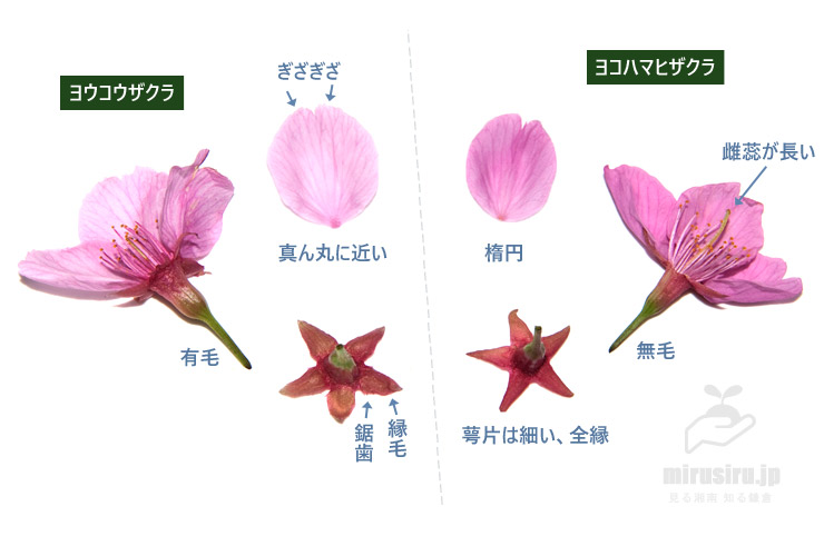 ヨウコウザクラとヨコハマヒザクラの花の違い
