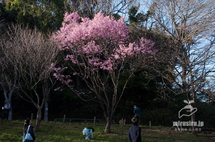 ヨウコウザクラ 鎌倉中央公園 2020/03/21