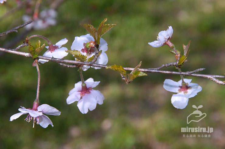 マメザクラの開花時の葉芽 茅ケ崎里山公園 2020/03/25