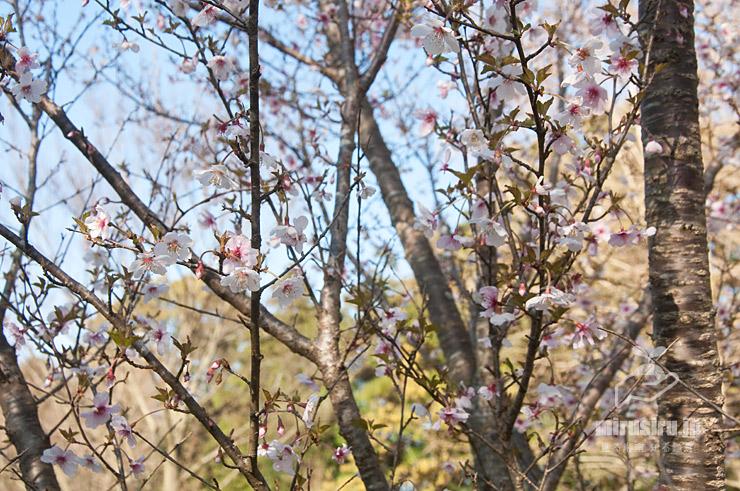 マメザクラ 茅ケ崎里山公園 2020/03/25