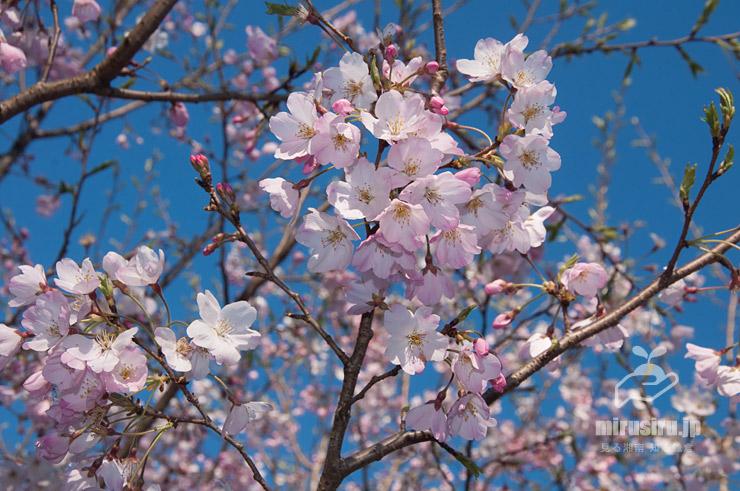 白とピンク色が同居するジンダイアケボノ 茅ケ崎里山公園 2020/03/25