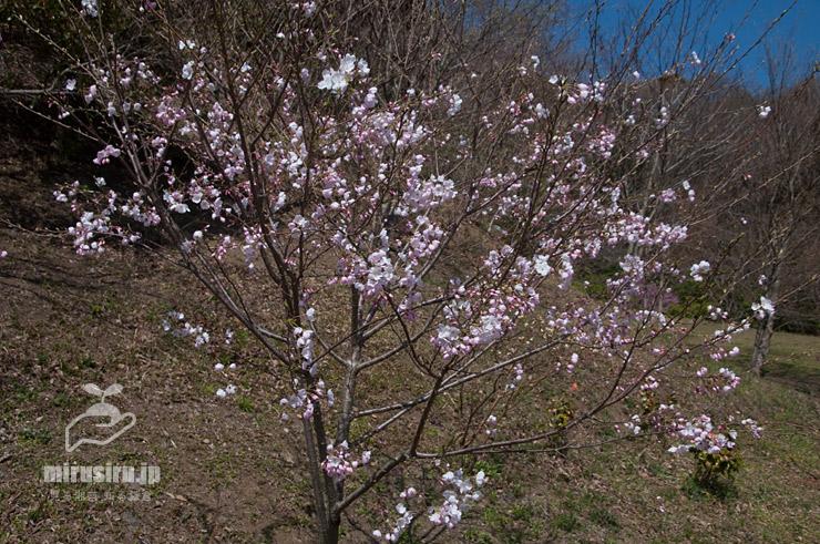 ジンダイアケボノの若木 二宮町・ラディアン花の丘公園 2020/03/26