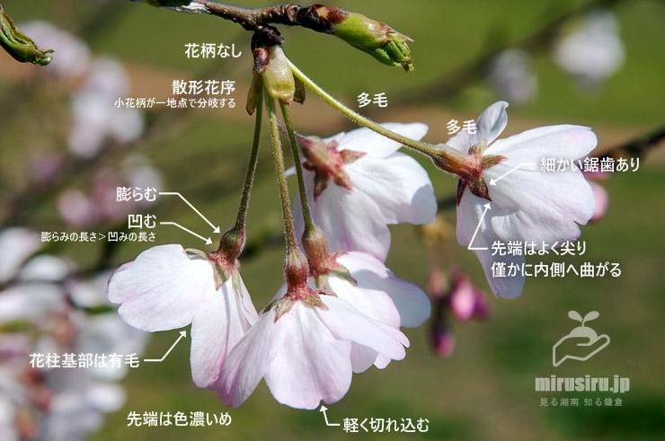 ジンダイアケボノの特徴 二宮町・ラディアン花の丘公園 2020/03/26