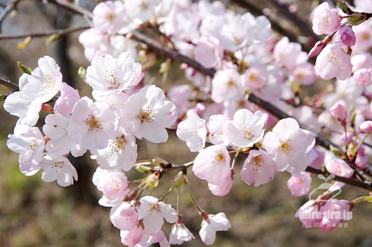 ジンダイアケボノ 二宮町・ラディアン花の丘公園 2020/03/26