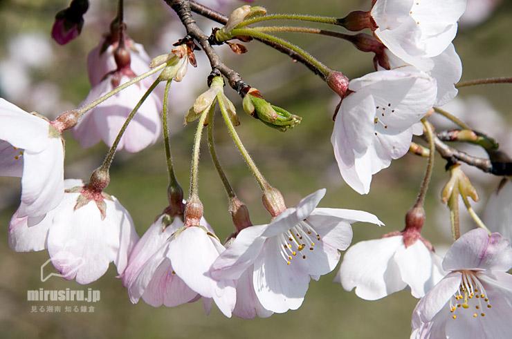 ジンダイアケボノの毛が多い小花柄や萼 二宮町・ラディアン花の丘公園 2020/03/26