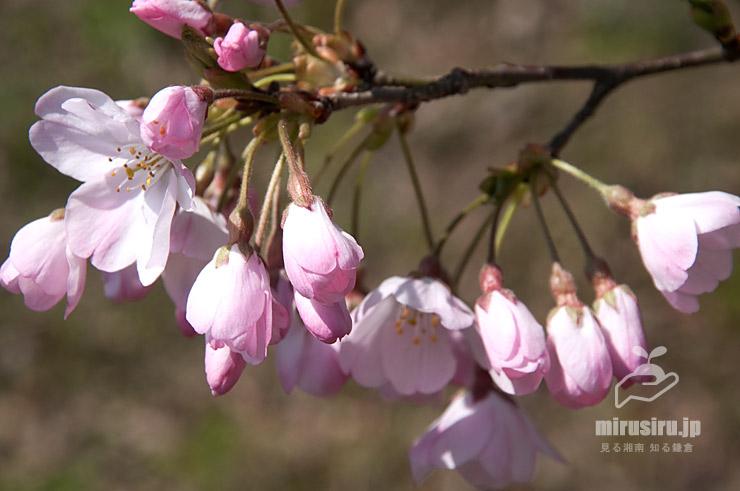 ジンダイアケボノのピンク色濃い(開花直前の)蕾 二宮町・ラディアン花の丘公園 2020/03/26