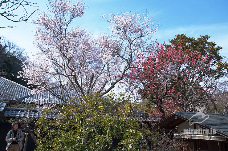コヒガン(右側の濃い色はモモ) 鎌倉市・東慶寺 2017/03/25