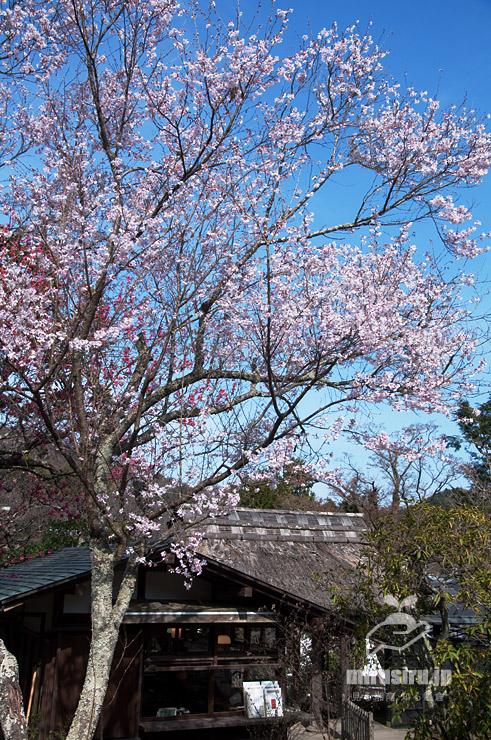 コヒガン 鎌倉市・東慶寺 2017/03/25